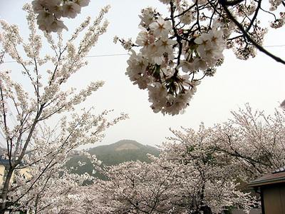 Daimonjisakura