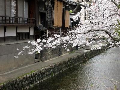 Gojyotakasegawasakura3