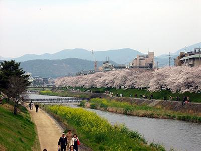 Takanogawasakura2