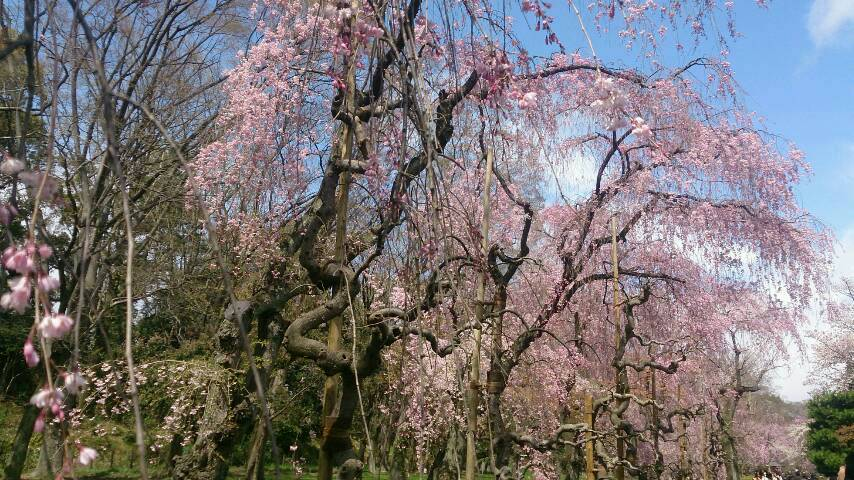 義両親と桜巡り