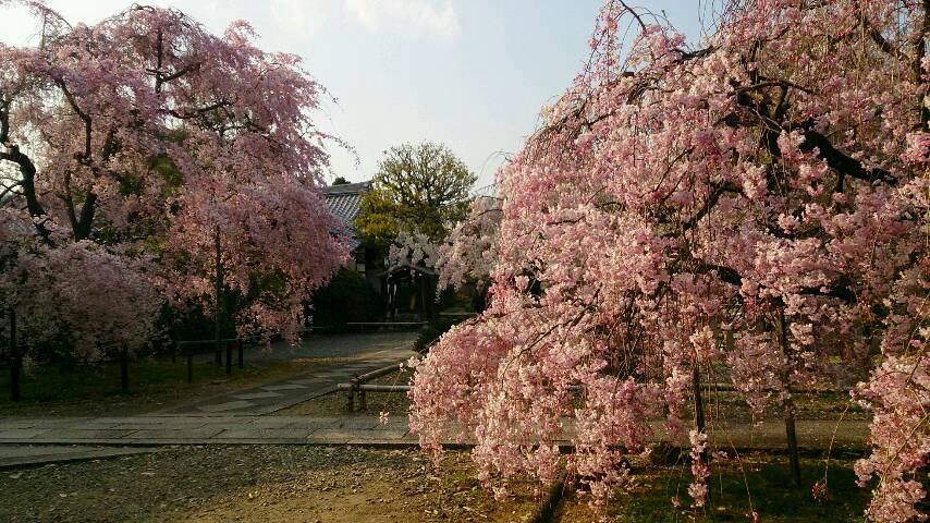上品蓮台寺の紅しだれと雨宝院の歓喜・観音桜
