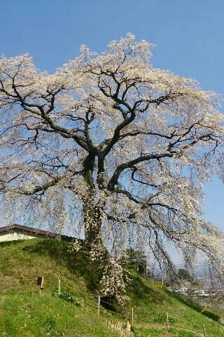 長野県飯田(南信州)の桜巡り