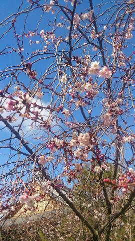 妙蓮寺の御会式桜