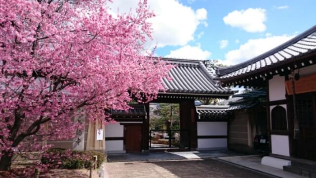 出町柳の長徳寺オカメ桜