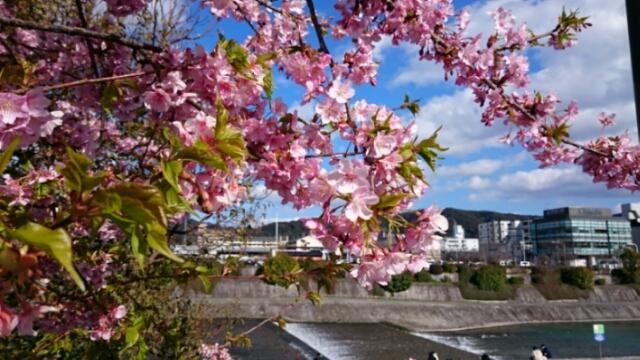 いよいよ桜の季節到来!