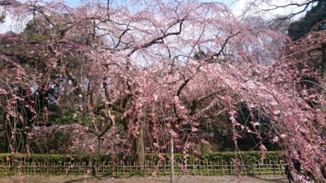 今年の桜速報はモブログかインスタグラムで!