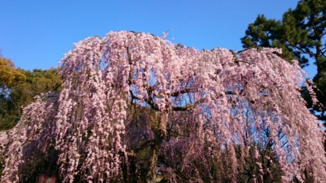 京都御所の出水の桜、近衛邸跡糸桜見頃に