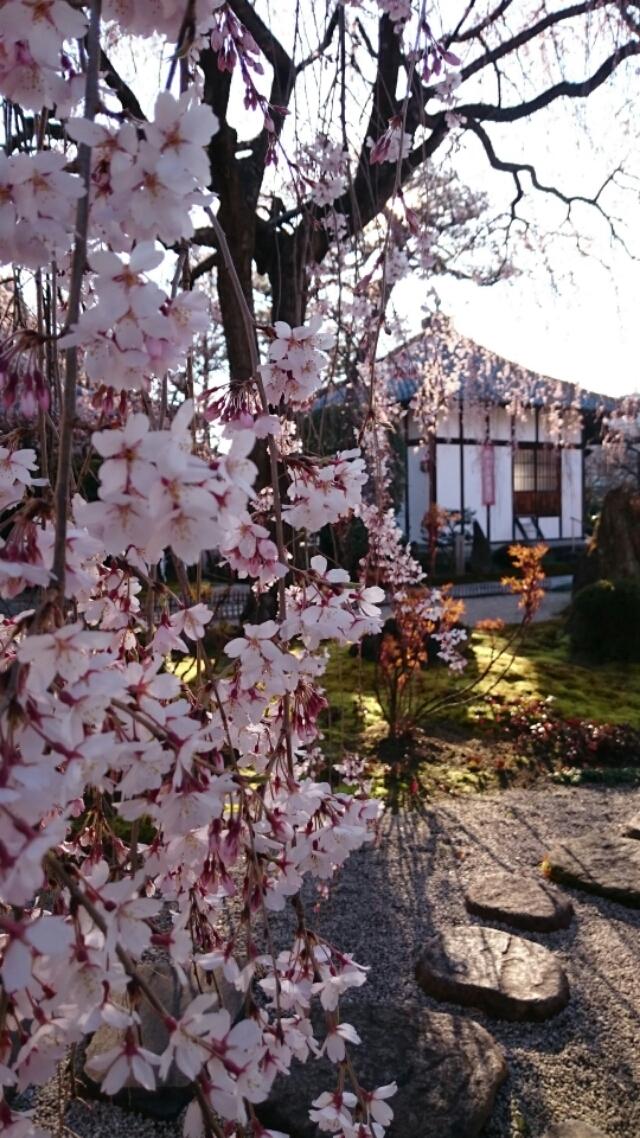 本満寺の枝垂れ桜、おそらく見頃に