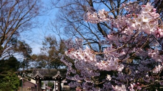 京都御所の山桜も開花