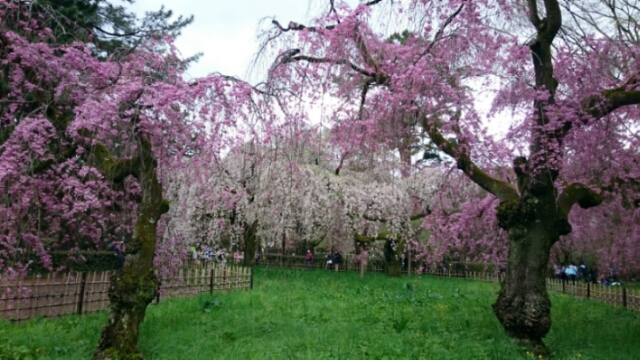 京都御所近衛邸跡、紅枝垂開花。紫宸殿の左近の桜満開