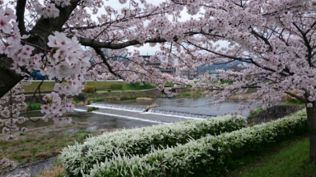 上賀茂神社の御所桜満開
