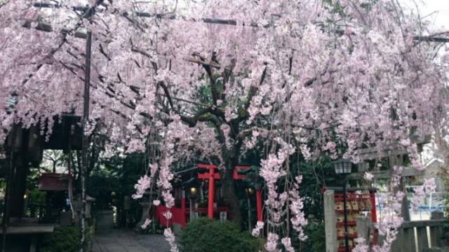 雨宝院歓喜・観音桜見頃開始、水火天満宮満開