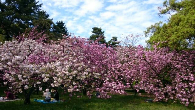 京都御所、出水の小川の里桜満開