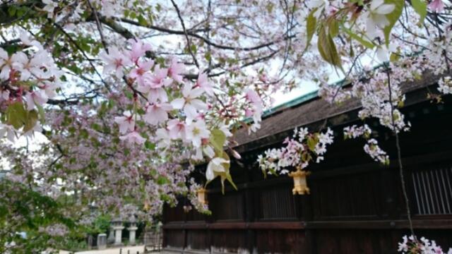 北野天満宮の北野桜見頃続く
