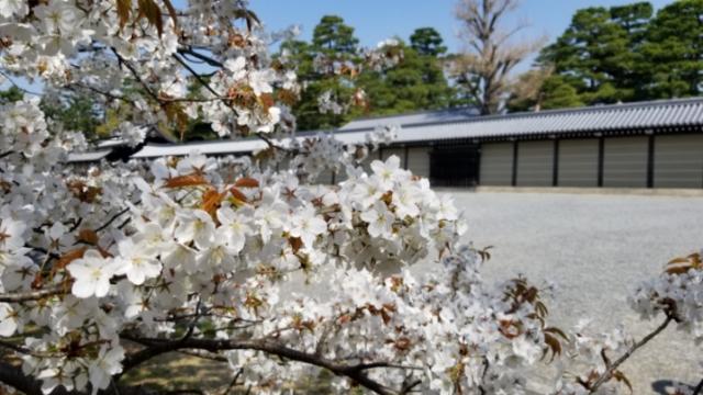 京都御所、山桜系も満開に
