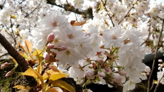 雨宝院の歓喜、観音桜が見頃に
